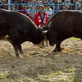 読谷村祭り闘牛大会を見て来た