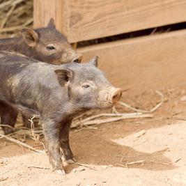 猪と猪豚をめぐる冒険