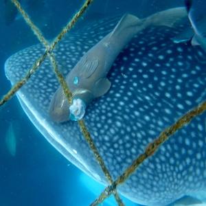 『ジンベイザメと泳ぎたい』を叶えてくれる夢の海へ